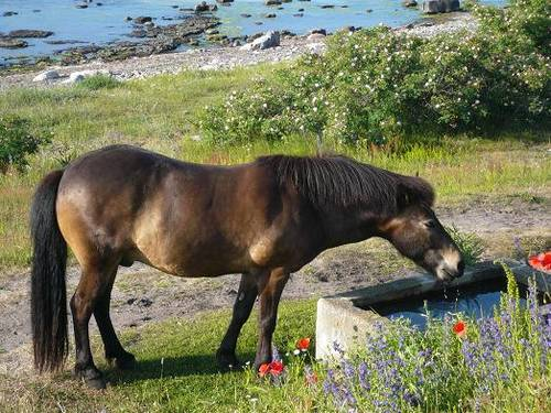 drinking-horse_60747