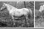 Zirga ķermeņa pozu salīdzinājums: noslēgtības poza, modrības/vērošanas poza, atpūtas poza